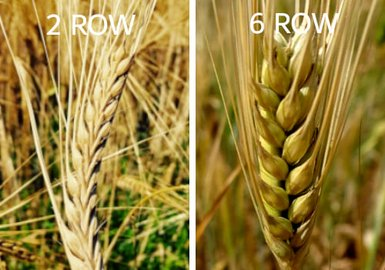 Difference between 2 Row and 6 Row Barley - Enjoy FRIO